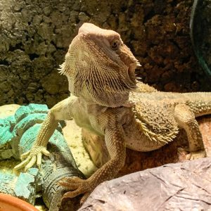 Pogona Dragón barbudo