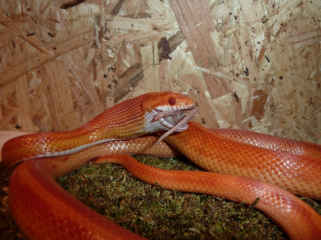Serpiente comiendo