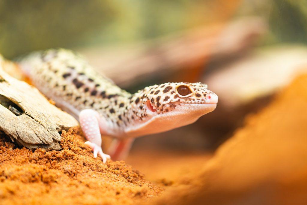 gecko leopardo arena