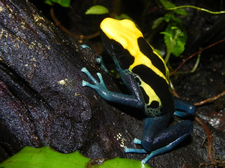 rana venenosa negra y amarilla